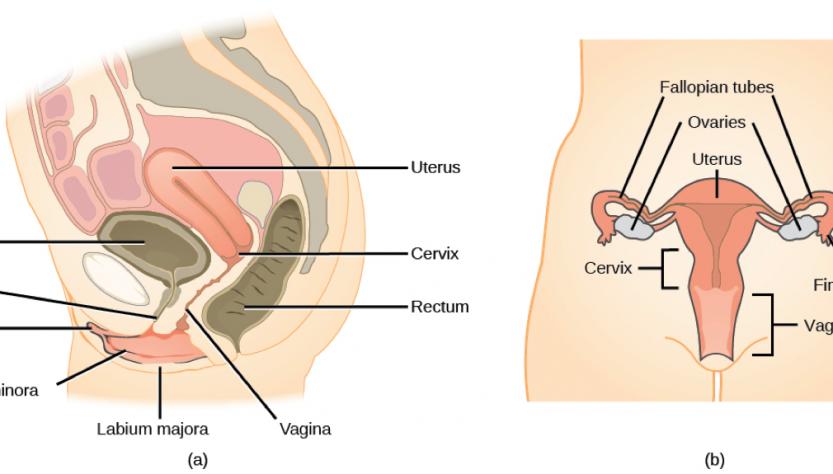 Difference Between Oestrogen and Estrogen