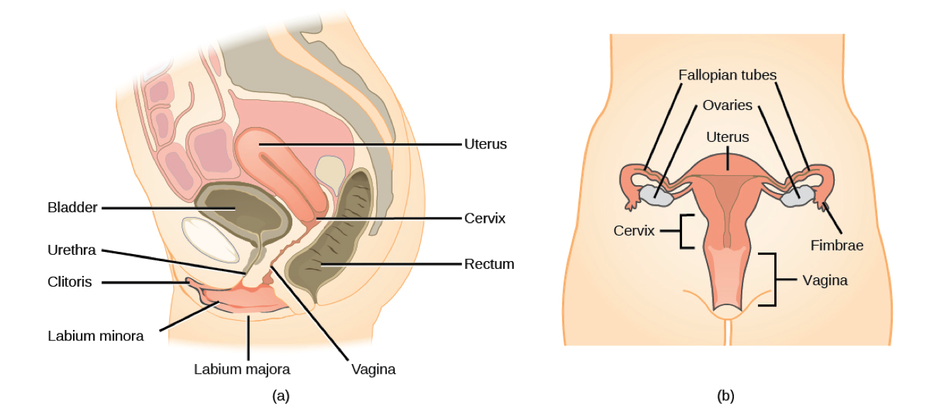 Difference Between Oestrogen and Estrogen