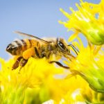 How to Help Save the Bees from Home